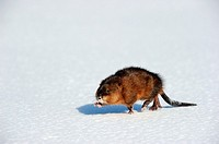 Muskrat Ondatra zibethicus walking on snow  Quebac, Canada