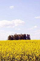 Bbeautiful yellow rape field. Background of the summer.