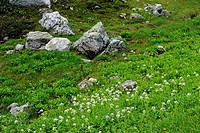 Alpine meadows with flowering alpine plants- Heliotrope and paintbrush, Mount Revelstoke National Park, British Columbia, Canada