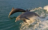 Bottlenose Dolphin jumping swimming in the waters off Gasparilla Ilslnad Florida