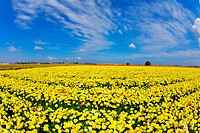 Solar spring day in fields flowers buttercups