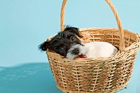 Parson Jack Russell Terrier puppy on blue background