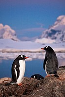Two penguins are talking, standing on a mountain in Antarctica