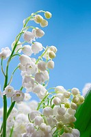 Flower of lily of the valley on a blue background
