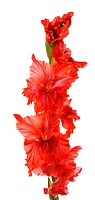 red gladiolus isolated on white background