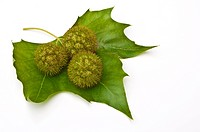 Three chestnuts conkers on a leaf with a white background