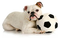 playful puppy _ english bulldog playing with soccer ball with reflection on white background