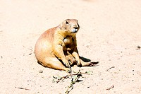 tired marmot sitting on the ground on sunny day
