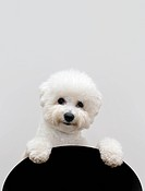 Bichon dog isolated on gray background
