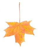 fallen yellow maple leaf, isolated on white