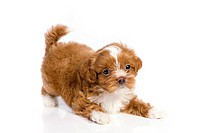 Puppy little havanese small and cute in white isolated