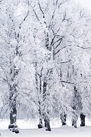 Trees covered in rime frost