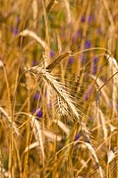 Field of rye. Fragment. Harvest time. Summer landscape