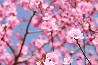 Branch with pink plum blossoms
