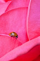 Single Ladybug on pastel colored rose leafs