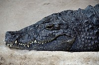 Portrait of a nile crocodile, Crocodylus niloticus, laying on stone