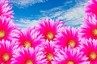 The pink Gerbira flowers with blue sky for background