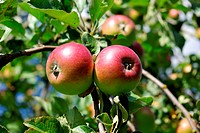 Apples in a garden on a tree