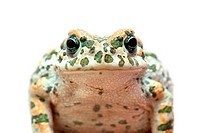 spotted toad macro portrait isolated on white