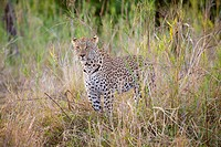A leopard standing alertly in grass