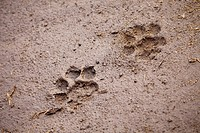 A pair of lion paw prints, close_up