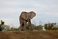 An African Elephant walking towards camera
