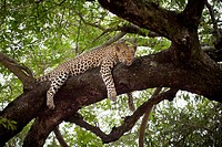 A leopard lying on a tree branch, looking away