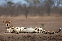 A cheetah lying down, looking at camera