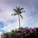 A palm tree and lush foliage, Maui, Hawaii