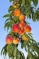 Peaches growing on a tree (thumbnail)