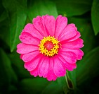magenta zinnia flower on green background,Thailand