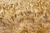 Full frame of a wheat field