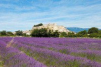 Lavender growing in the fields of Grignan, France