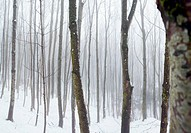 Hazy winter forest (thumbnail)
