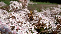 Bee on apple blossom tree