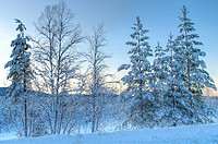 a cold forest scenery in the north of sweden