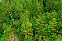 Green forest. The mixed wood on mountain in the East Europe. Ukraine.