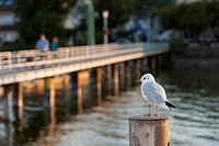 Germany, Dingelsdorf, Black headed gull on wood with jetty in background