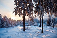 winter forest in Harz mountains at dawn