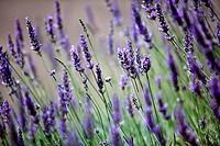 Lavender growing in summer garden close up