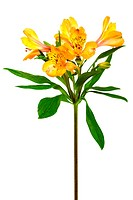 orange and freshness alstroemeria on a white background