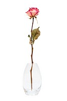 dry rose in the vase on a white background