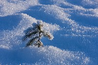 Close up of hoar Frost on a small tree and surrounding snowcover, Tongass National Forest, Southeast Alaska, Winter