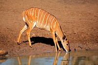 Female Nyala antelope Tragelaphus angasii drinking water, Mkuze game reserve, South Africa