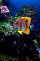 tropical Sixspine butterfly_fish floats in an aquarium