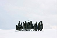 Group of cypress trees (Cupressus) in the snow, San Quirico d'Orcia, Tuscany, Italy, Europe