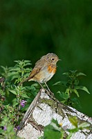 European Robin (Erithacus rubecula), juvenile, perching, south-east England, United Kingdom, Europe