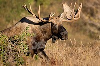 Adult bull moose walking in Chugach Sate Park, Southcentral Alaska, Fall