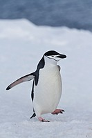 Adult chinstrap penguin Pygoscelis antarctica at breeding colony at Half Moon Island, Antarctica, Southern Ocean