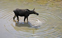 Moose (Alces alces), Grand Teton National Park, Wyoming, United States of America, USA